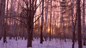 nyírfa : Golden sunlight between trees in birch grove during sunset on winter evening