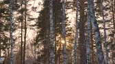 mrożonki : Beautiful sun rays through trees in winter forest. Winter sun in forest. Sunbeam sun flare shine behind trees.