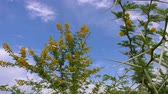 thorns : Acacia Vachellia Karroo or sweet thorn growing flowers on tree on blue sky background in Africa