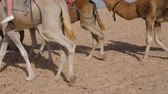 dry season : Tourists having astride on african camels, low section view Stock Footage