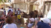 směšný : Hammamet, Tunisia - 09 June 2018: Tourist people touching and photographing funny camel in contact zoo. Tourist excursion in zoo. Dostupné videozáznamy