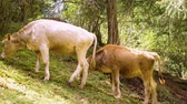 kötés : Two bulls binding together by rope grazing on green hill in summer forest Stock mozgókép