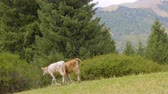 bull : Little bulls going down from hill, view of green mountains on background