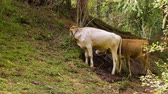 pastoreio : Two bulls grazing green grass on mountain at summertime