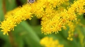 honeydew : Close up bee pollinating yellow flowers in summer garden. Yellow bee on flowers