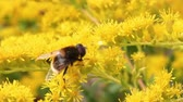 нектар : Yellow bee collecting honeydew on blooming flowers closeup. Honey bee on flowers
