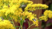 honeydew : Wasp and fly pollinating yellow flowers in summer garden close up