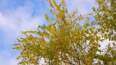 ясно : Tree branches with yellow foliage blowing on wind on blue sky background Стоковые видеозаписи