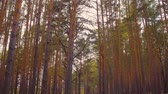 lamacento : Tilting shot of gloomy forest with tall pine trees Stock Footage