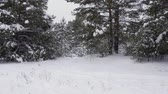 harikalar diyarı : Winter snowy forest. Panning view winter snow covered woods with pine trees in snow. Slow Motion dolly shot Stok Video
