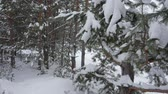 fagy : Winter trees and snowfall in woods. Slow motion view, winter forest and snowy pine trees