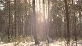 mrożonki : Winter forest background. Slow motion snowflake falling in snowy forest on sunlight background. Sunny winter day in woodland. Backlit natural light