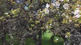 gomos : Blossom cherry tree in summer garden. Blooming branches of wild apple tree covered with moss in springtime