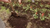plântula : Man digging soil with shovel on flowerbed in summer garden. Gardener preparing ground for transplanting flower. Summer gardening in countryside Stock Footage