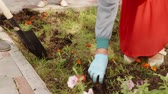 lopata : Gardener hands planting flowers in soil on green lawn in summer park. Female hands transplanting flower seedling in flower bed. Digging soil with shovel in spring garden