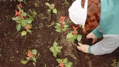 plântula : Senior woman planting flowers. Overhead view of elderly woman in cap planting beautiful red flowers in soil at garden during daytime. Gardening concept
