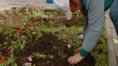ültetés : Senior woman planting flowers. Side view of elderly woman in cap planting beautiful red flowers in soil at garden during daytime. Gardening concept