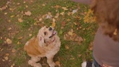 родословная : Boy feeding cocker spaniel on autumn grass. High angle view boy training dog with tasty feed on walk in autumn park