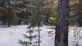 coberto : Happy dog running on snow in winter forest. Cute grey furry dog running on snow in beautiful winter forest during daytime