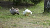 pekin : A crested Pekin duck hen Stok Video