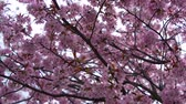 branch : flowering branch of Sakura