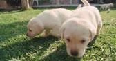 temas animais : labrador retriever puppies in the farm yard for a walk on a Sunny day,slow motion