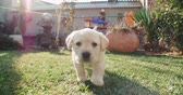 temas animais : puppy labrador retriever in the farm yard for a walk on a Sunny day,dog slow motion running