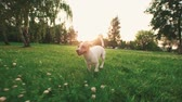 non kentsel : Jack Russell Terrier dog next to a girl happily running through the grass in the nature Park, slow motion,sunset time