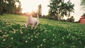 male animal : Jack Russell Terrier dog running carefree through the grass in the nature Park, slow motion