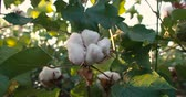 mezők : Dolly shot 4K, close-up,ripe the highest quality cotton in the green bushes Stock mozgókép