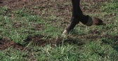 csikó : thoroughbred racing stallion horse close-up in slow motion with his hoof on the grass strikes