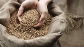 atributo : human hand touching selected grain Golden wheat in jute sack, quality new crop, slow motion,dolly shot Vídeos