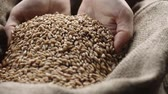 factory farming : human hand touching selected grain Golden wheat in jute sack, quality new crop, slow motion