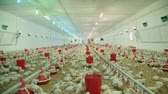 husbandry : chicken farm, a lot of the weekly age of chickens, wide shot panorama