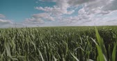 рожь : running in a field of green wheat ,Steadicam shot, slow motion Стоковые видеозаписи