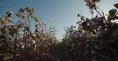 de ativos : Dolly shot of the highest quality cotton in field growing Bush with lots of cotton bolls
