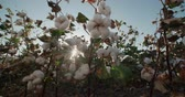 high quality : the highest quality cotton growing on the field Bush with lots of cotton bolls, ready for harvest Stock Footage