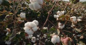 new south wales : the highest quality cotton growing on the field Bush with lots of cotton bolls, ready for harvest Stock Footage