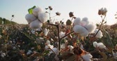 high quality : highest quality cotton is ready to harvest field at sunset