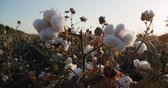 new south wales : close-up of the highest quality cotton is ready to harvest field