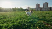 улов : funny Jack Russell Terrier dog runs on the grass while playing in the Park, slow motion Стоковые видеозаписи