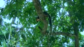 grizzled : Indian giant squirrel or Malabar giant squirrel (Ratufa indica) sitting on a branch and eating, Sri Lanka, South Asia, Hikkaduwa
