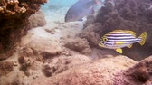 plectorhinchus : diagonal-banded sweetlips or Yellowbanded sweetlips (Plectorhinchus lineatus) near reef, Indian Ocean, Hikkaduwa, Sri Lanka, South Asia Stock Footage