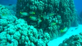 plectorhinchus : School of fish Blackspotted Rubberlip, Black-spotted grunt, african grunt or Blackspotted rubberlips (Plectorhinchus gaterinus) at coral reef, Red sea, Egypt, Africa Stock Footage