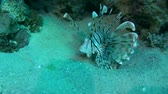 soldado : Red lionfish (Pterois volitans) is above the sand near the coral reef Vídeos