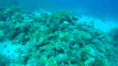 meio tom : school of coral fish swimming over coral, Red sea, Sharm El Sheikh, Sinai Peninsula, Egypt Stock Footage