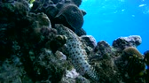 plectorhinchus : Greasy grouper - Epinephelus tauvina lies on the coral, then quickly swims ispugavschis Blackspotted rubberlip - Plectorhinchus gaterinus Stock Footage