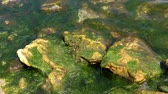 wrack : Green algae in the surf zone on the Black Sea Stock Footage
