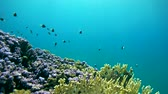 lehúzó : School of Bicolor Damselfish over a beautiful coral reef in shallow water - Abu Dabbab, Marsa Alam, Red Sea, Egypt, Africa