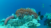 sivri : pineapple sea cucumber and Pearsonothuria graeffei on the coral reef - Indian Ocean, Maldives Stok Video